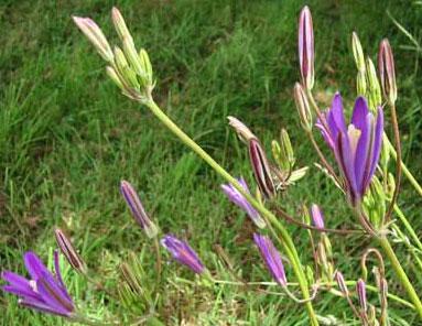 Bcalifviolet.1