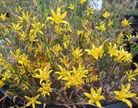 Bloomeriahumilis1.1