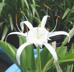 Heucharidifolia