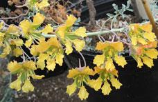 Tropincisum