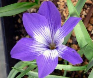 Tecoviolacea1 [320x200]