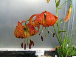 Lilpardalinum [320x200]