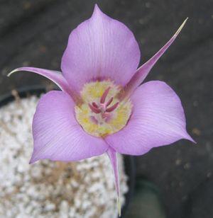 Macrocarpus1 (439x450)